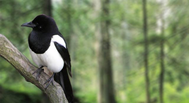 magpie-bird