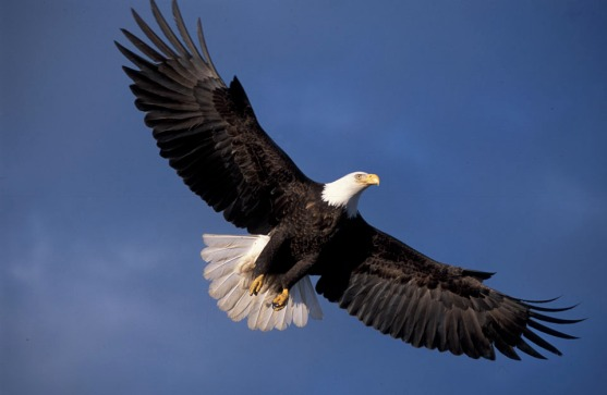 USA, Alaska, Homer, Bald Eagle (Haliaeetus leucocephalus) in flight